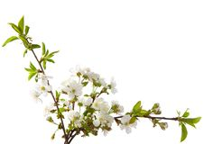 Free Cherry In Blossom Stock Photography - 29227662
