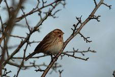 Free Reed Bunting. Royalty Free Stock Photo - 29229055