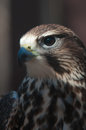 Free Saker Falcon Stock Photos - 29232863