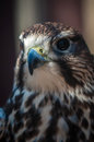 Free Saker Falcon Stock Photo - 29232960