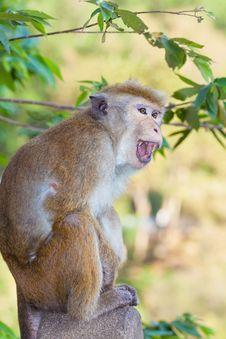 Free Anger Monkey Stock Photos - 29230673