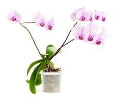 Free Orchid Stock Image - 29230691