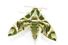 Free Oleander Hawk Moth &x28;Daphnis Nerii&x29; Stock Photos - 29231803