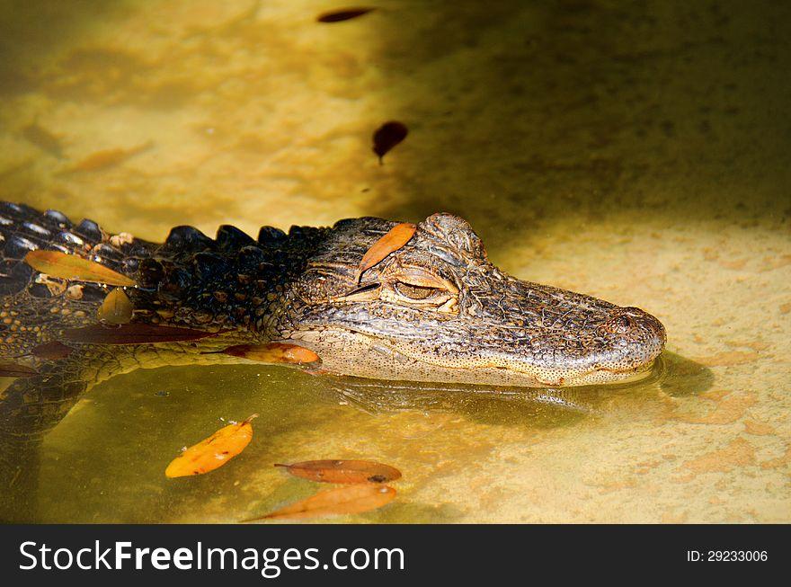 Alligator lurking on the shoreline