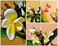 Free Frangipani Blossom Royalty Free Stock Photos - 29241478