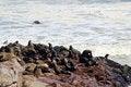 Free Colony Of Seals At Cape Cross Reserve, Atlantic Ocean Coast Stock Photo - 29249490