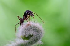 Free A Strong Ant Royalty Free Stock Photography - 29240547