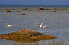 Three White Swans At The Seaside In Summer Royalty Free Stock Photography