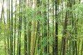Free Background Of Green Bamboo Trees Royalty Free Stock Photos - 29252968