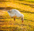 Free Goose On Green Grass Royalty Free Stock Photo - 29253245