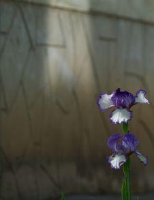 Free Iris Stock Photo - 29253150