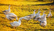 Geese On Green Grass Royalty Free Stock Photography