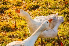 Free Geese On Green Grass Stock Images - 29253254
