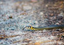 Free Grass Snake - Natrix Natrix Stock Photo - 29253270