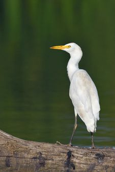 Free Great Egret Royalty Free Stock Photo - 29254835