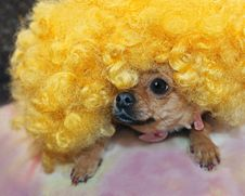 Free Red Chihuahua Dog In Yellow Wig. Stock Images - 29257684