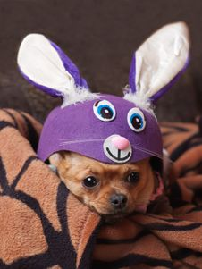 Red Chihuahua Dog Dressed As Rabbit. Stock Photo