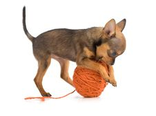 Toy Terrier Playing Royalty Free Stock Images