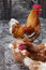 Free Red Rooster And Hens Royalty Free Stock Image - 29259436