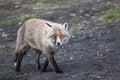 Free Fox Stock Image - 29265341