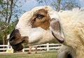 Free White Sheep In The Farm Stock Photo - 29267530