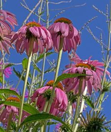 Free Pink Cone Flowers AS Seen From Below Royalty Free Stock Images - 29266149