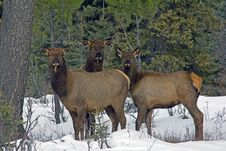 Free Three Elk In The Snow Stock Images - 29266244