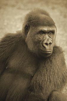 Free Lowland Gorilla In Sepia Tones Stock Photo - 29266490