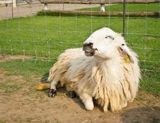 Free Smile Sheep Stock Images - 29267394