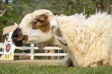 Free Smile Sheep Royalty Free Stock Photo - 29267475