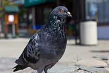 Free A Pigeon Out For A Sunday Stroll In The Park. Stock Photo - 29269340