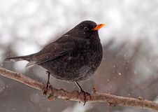 Free Winter Blackbird Royalty Free Stock Photography - 29269987