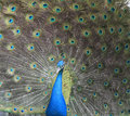 Free Peacock With Feathers Out Stock Image - 29278121