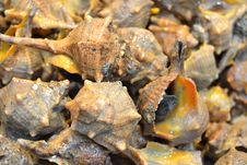 Sea Snails Royalty Free Stock Photos