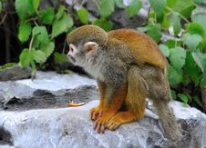 Free Squirrel Monkey Stock Photos - 29273433