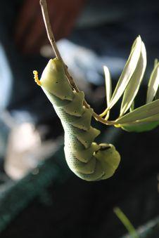 Free Tobacco Hornworm Caterpillar Stock Photography - 29276932