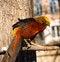 Free Golden Pheasant Stock Photography - 29274522