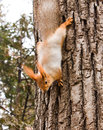 Free Red Squirrel Royalty Free Stock Image - 29283356