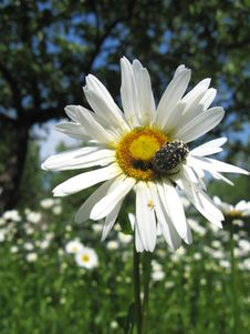 Free Beautiful White Chamomile And Little Beetle Royalty Free Stock Photo - 29287105