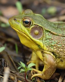 Free Green Frog Royalty Free Stock Photography - 29289187