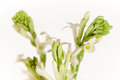 Free Buds Of White Flowers Stock Image - 29292391