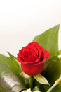Free Red Rose Flowers Royalty Free Stock Photography - 29292397