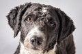 Free Spanish Water Dog Royalty Free Stock Image - 29295886