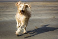 Free Labradoodle Royalty Free Stock Images - 29295909