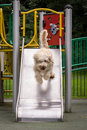 Free Labradoodle Stock Images - 29295944