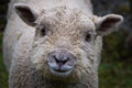 Free Closeup Sheep Royalty Free Stock Photo - 29295945