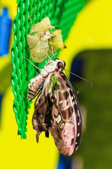 Free Tailed Jay &x28;Graphium Agamemnon Agamemnon&x29; Butterfly Stock Photo - 29291260