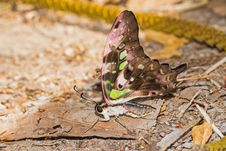 Free Tailed Jay &x28;Graphium Agamemnon Agamemnon&x29; Butterfly Stock Photos - 29291273