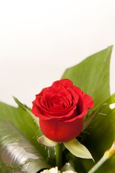 Red Rose Flowers Royalty Free Stock Photography