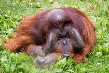 Free Orangutan Royalty Free Stock Image - 29295826